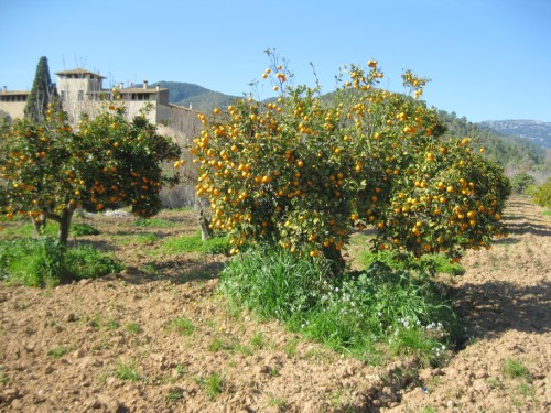 Orangenbäume.JPG
