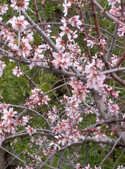 5 Mandelblüte2.JPG