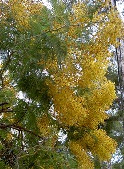 6 Blühende Mimose.JPG