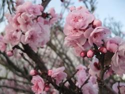 Mandelblüten.JPG