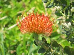 Madeira-Blume 3.JPG
