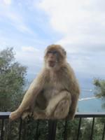 Affe auf Gibraltar.JPG