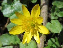 Gelbe Blüte.JPG