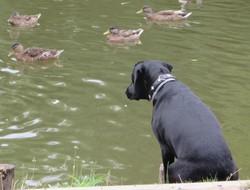 11 Schwarzer Hund am Wasser.JPG