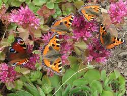 12 Schmetterlinge an der Masaryk-Baude.JPG