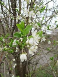 Kirschblüten.JPG