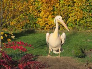 Pelikan im Tierpark Gotha.JPG