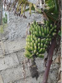 Bananenstaude an der Levada.JPG