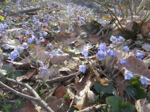 Ein Wald voll Leberblümchen.JPG