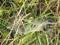 Spinnennetz im Altweibersommer.JPG