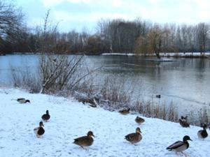 Sömmerda Großer Teich mit Enten.JPG
