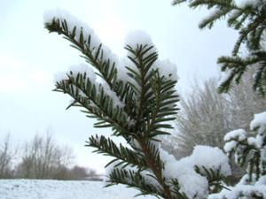 Zweige mit Schnee.JPG