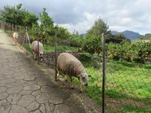 Schafe in Fornalutx.JPG