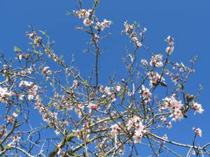 Blühende Mandelbäume.JPG