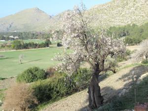 Blühender Mandelbaum an der Finca Boquer.JPG