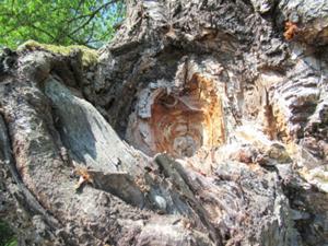 Knorriger Baum am Rastplatz Lehmgrube 1.JPG
