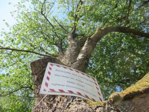 Knorriger Baum am Rastplatz Lehmgrube 2.JPG